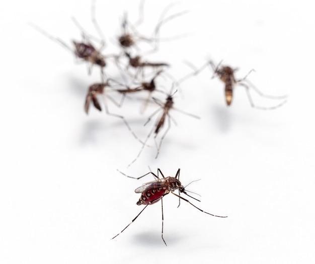 흰색 배경에 고립 된 피를 빠는 모기의 매크로