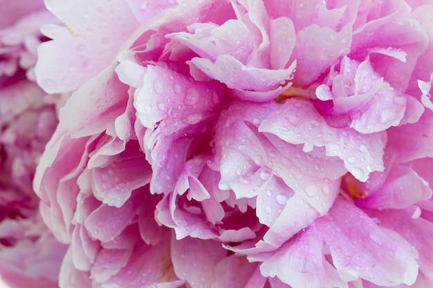 Макрос розовых пионов цветущих цветов фона