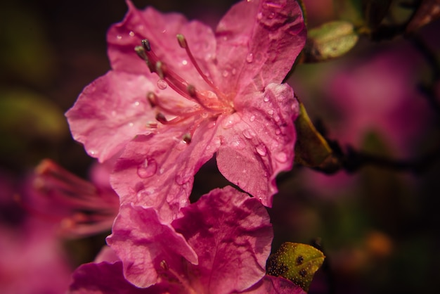 Макрос розовых цветов сливы цветут в солнечном свете, размытие темного фона.