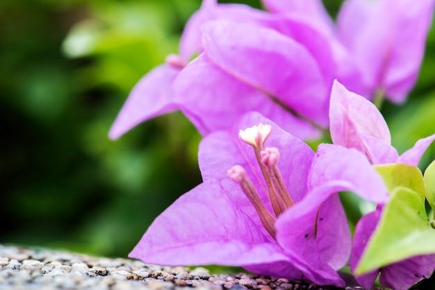 本物の自然ブーゲンビルの花の花植物のマクロ