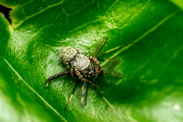Макрос паука (прыгающие пауки) насекомое есть москит закрыть на отпуск в природе