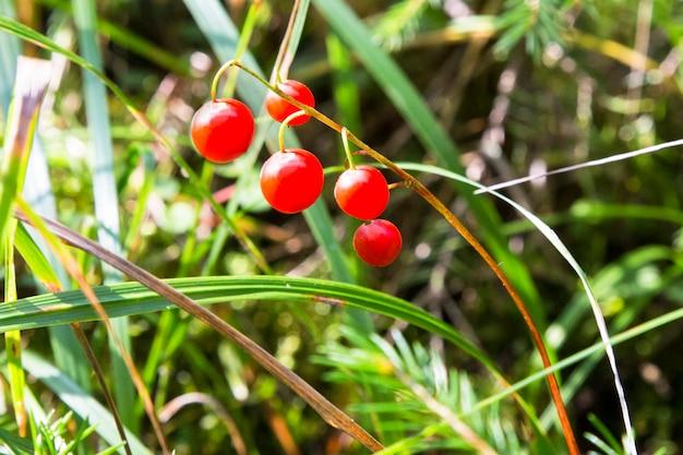 スズランのマクロ、convallaria majalisは、秋の緑の森を背景に、1本の枝に赤いベリーを植えます。スズランの有毒な果物。