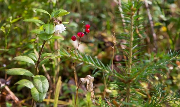 スズランのマクロ、convallaria majalisは、秋の緑の森を背景に、1本の枝に赤いベリーを植えます。スズランの有毒な果実。