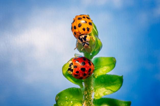 이슬이 맺힌 녹색 잎이 많은 식물에 있는 두 개의 다색 무당벌레 매크로