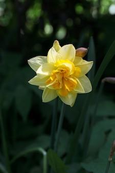 Макро один желтый нарцисс на размытом фоне зеленой травы