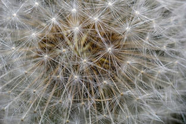 Macro of the petals of the dandelion flower