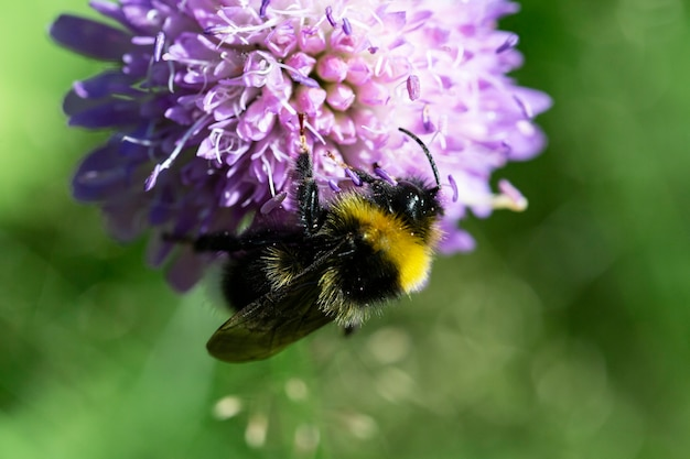 Macro photo of a bumblebee feeding from the lilac flower knautia arvensis, summer time
