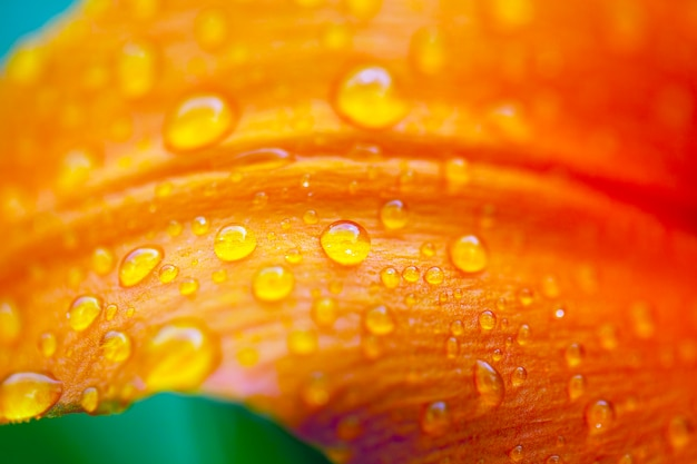 Macro the photo of drops of water on a petal of an orange lily. small depth of sharpness