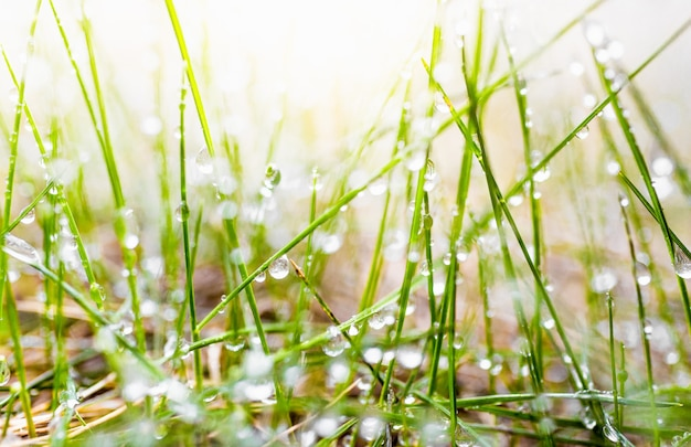 Macro photo of fresh green grass covered by dew at sunny morning