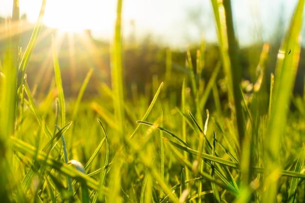 Macro photo of a fresh green grass in the summer field under the sun shine
