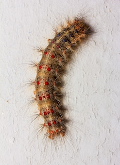 Macro photo of a large caterpillar on gray