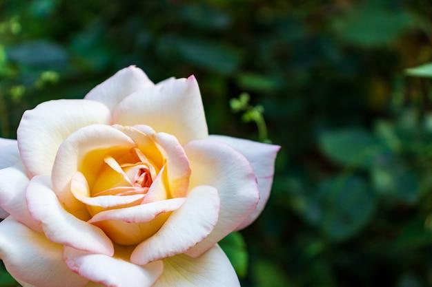 Макро фото природа цветок розовая роза. фоновая текстура пушистого цветущего цветка малиновой розы. фотография растение цветущий бутон розовой розы