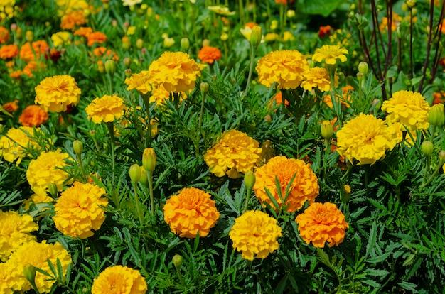 Macro photo nature flower yellow tagetes marigolds.