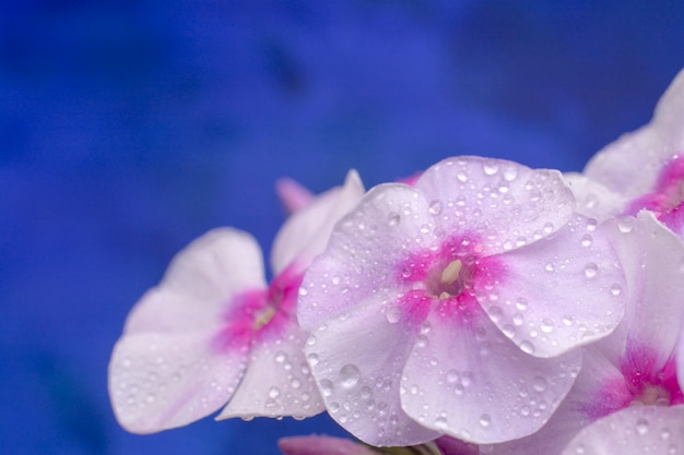 Macro photo nature of phlox flower on blue background.