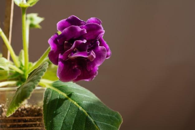 녹색 잎의 배경에 향기로운 보라색 꽃 saintpaulias의 매크로 사진