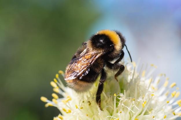 Макро фотография желто-черного полосатого шмеля, опыляющего и собирающего нектар на белом цветке, вид сверху с выборочным фокусом