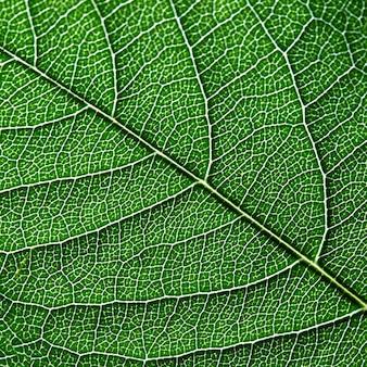 Макро фотография темно-зеленого листа. естественный узор из жилок листа как фон для ваших идей. верхний