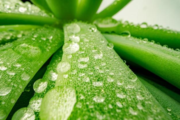 多肉植物の葉の露滴のマクロ写真