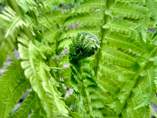 Макро фотография папоротника. красивые листья папоротника. зеленая листва естественный фон папоротника.