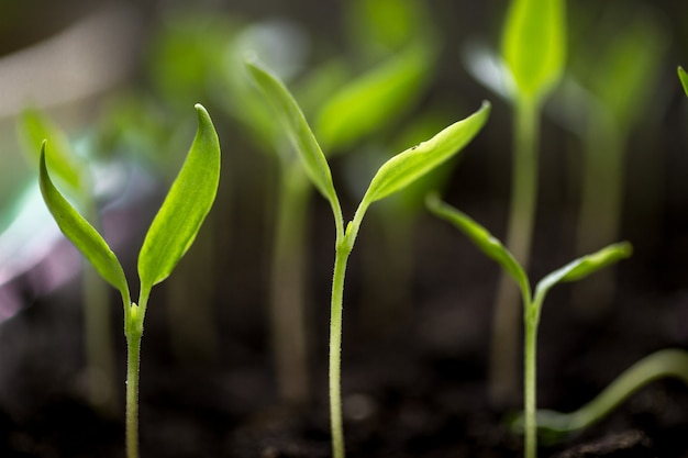 토양에서 성장하는 신선한 녹색 콩나물의 매크로 사진