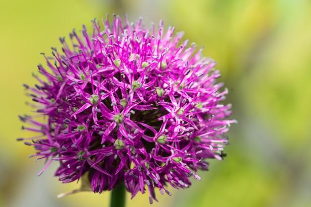 Макро фотография фиолетовых цветов лука на зеленом.
