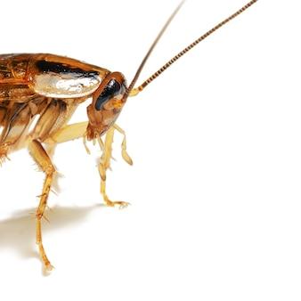 Макро фотография передней части взрослого красного таракана живым изолирована на белом фоне с копией пространства