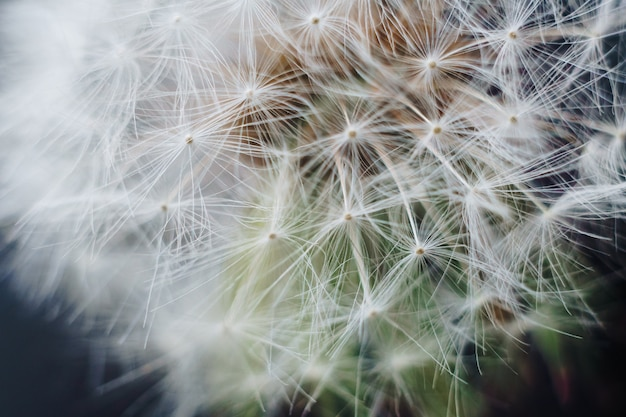 白いタンポポの綿毛のマクロ写真