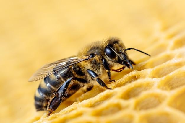 벌집에 작업 꿀벌의 매크로 사진입니다.