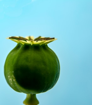 Macro photo of poppy seed box on a blue  .