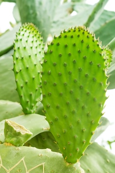 Macro photo of prickly pear cactus. opuntia cactus. green  with desert plant