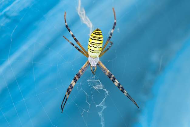 Macro photo spider argiope bruennichi on the web on a blue background closeup
