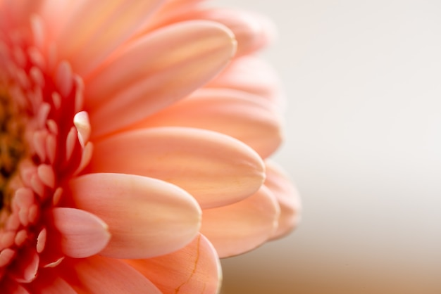 Macro photo of a vibrant pink gerbera daisy against a white background
