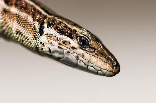 Macro photograph of a lizard's head