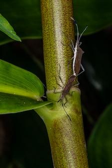 몇 가지 곤충 coreidae 짝짓기의 매크로 사진 (catorhintha sp).
