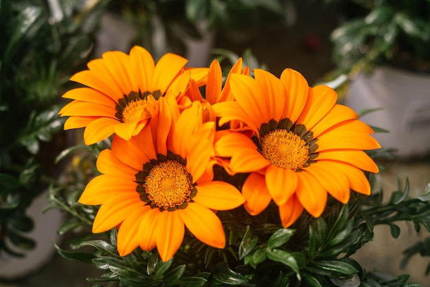 Macro photography of beautiful orange gazania rigens flowers blooming during spring