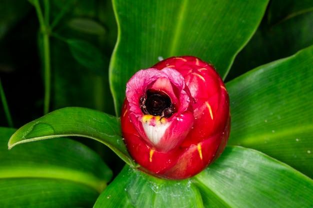 Macro photography of bumble (bombus terrestris) pollinating flower (costus woodsonii)....