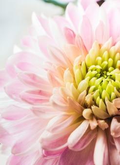 Macro photography of a fresh pink chrysanthemum.