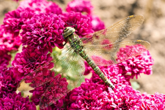 Macro photography of a green dragonfly on purple chrysanthemum flowers. dragonfly in its natural habitat.