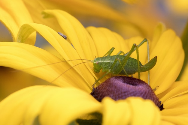 Macro photography of a green grasshopper sitting on a yellow flower