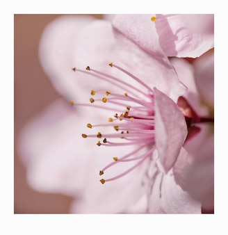 Macro photography of a light pink cherry blossom on a beautiful spring day