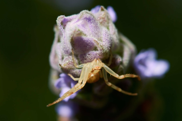 開花植物のクモのマクロ撮影