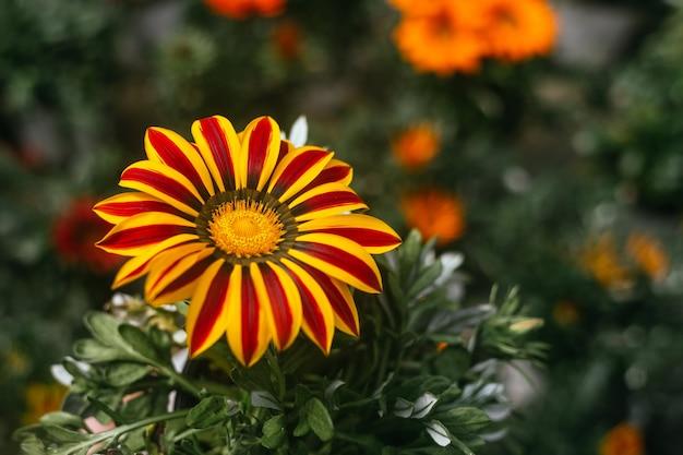 Макросъемка красивой оранжевой газании, цветущей весной