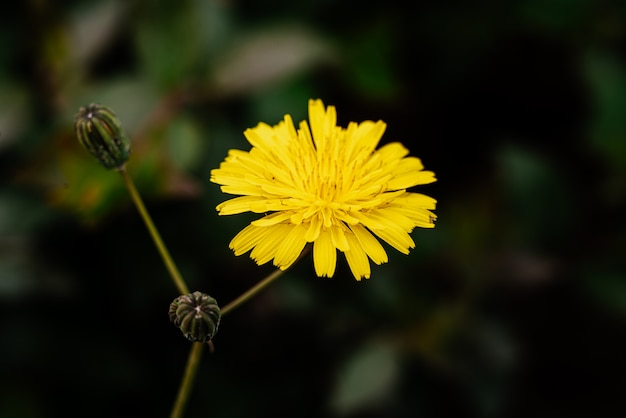 タンポポの花のマクロ撮影