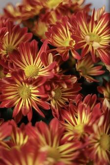 Макросъемка красных и желтых цветов герберы ромашки