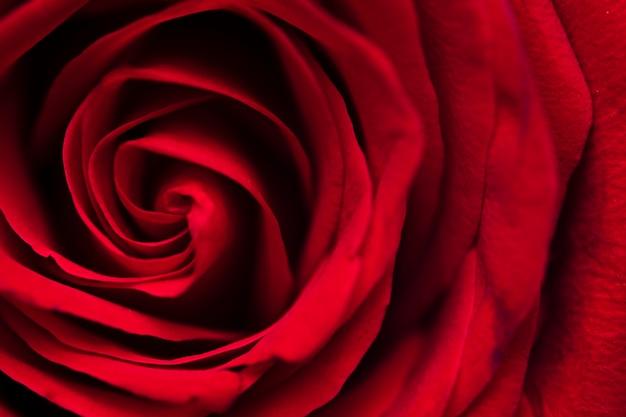 빨간 장미의 매크로 사진