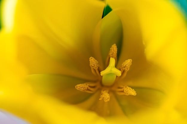 Макросъемка желтых тюльпанов