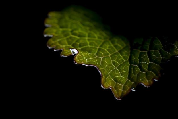 Foto macro di una foglia verde sotto le luci isolate sul nero