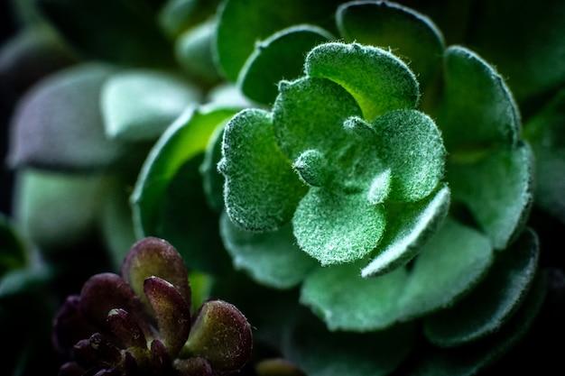 緑の多肉植物のマクロ写真