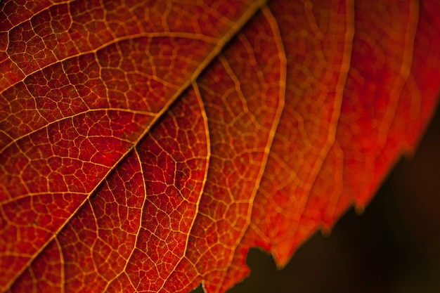 Macro picture of a red leaf under the lights against a black background