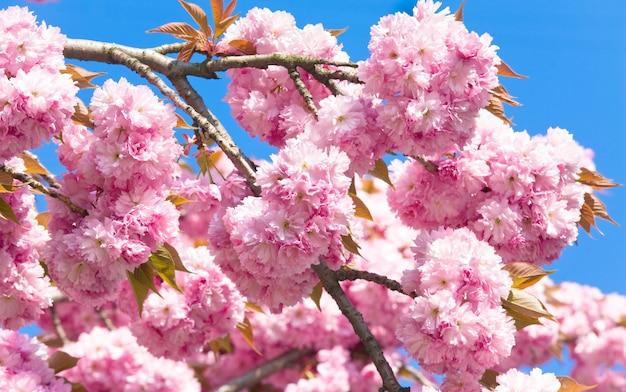 青空の背景にマクロピンクの日本の桜の小枝の花